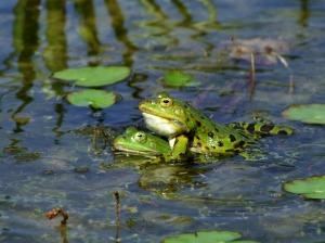 frog-174725_1920